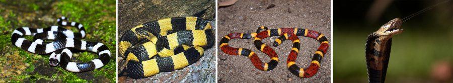 Ядовитые змеи в Азии