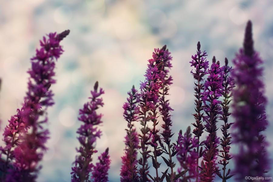 Феолетовые цветы