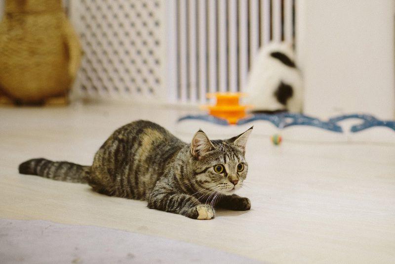 Кот играет с мячиком в кото-кафе Вьетнама
