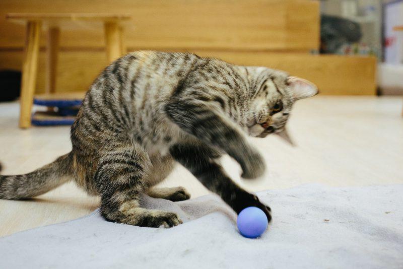 Кот с мячиком, кото-кафе