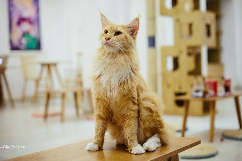 Мейн кун в кото-кафе Хошимина