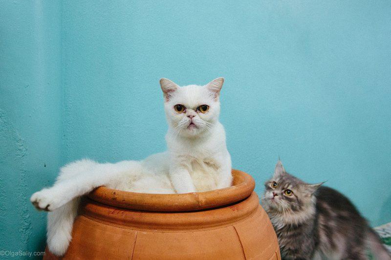Коты в кото-кафе Самуи
