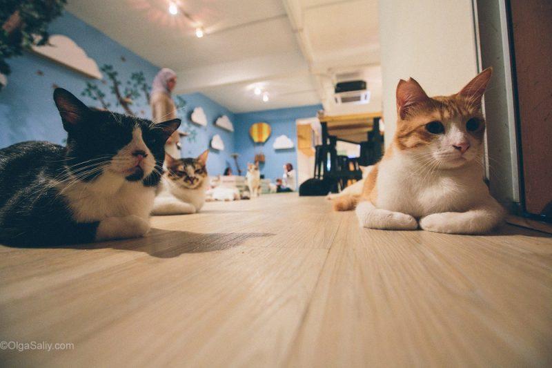Котики ждут еду в кото кафе Куала Лумпур