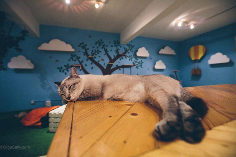 Котики в кото кафе Куала Лумпур, Малайзия (19)