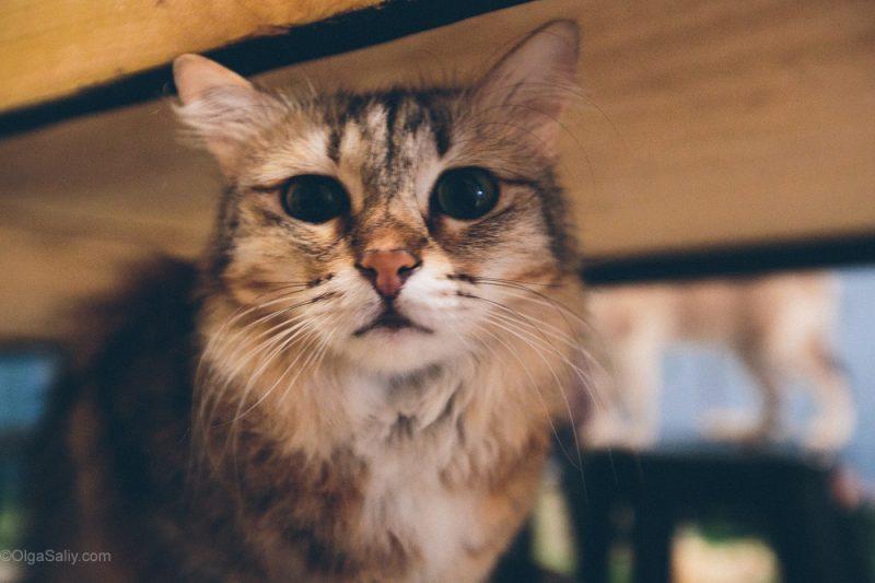 Котики в кото кафе Куала Лумпур, Малайзия (12)