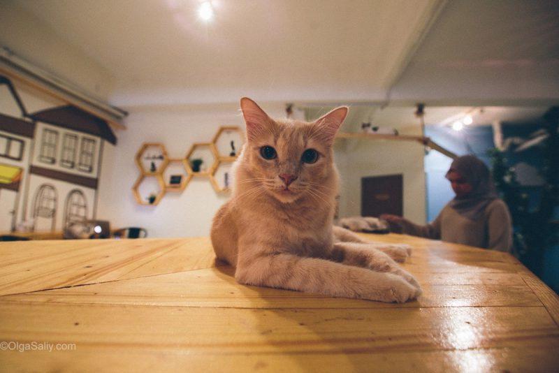 Котики в кото кафе Куала Лумпур, Малайзия (11)