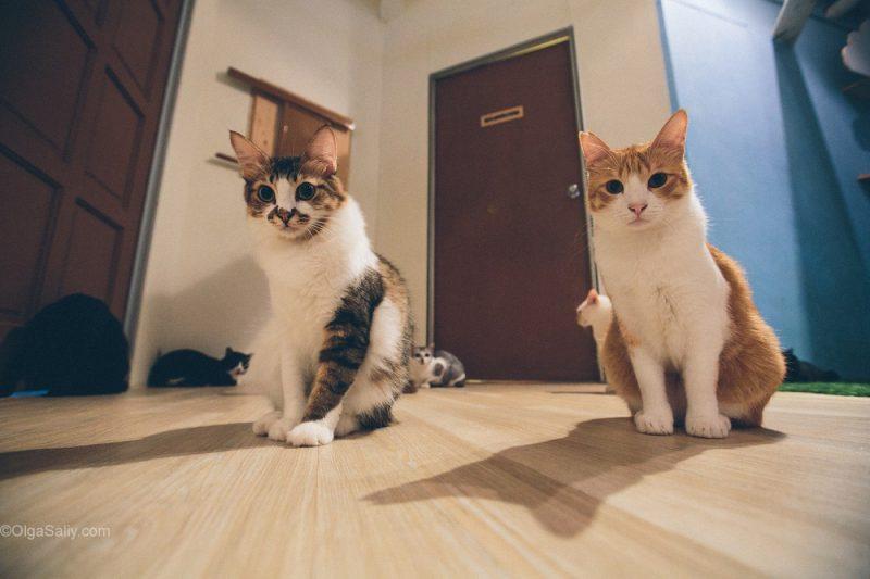Котики в кото кафе Куала Лумпур, Малайзия (7)