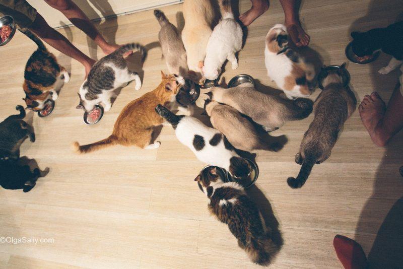 Кормление котов. Кото-кафе Малайзии