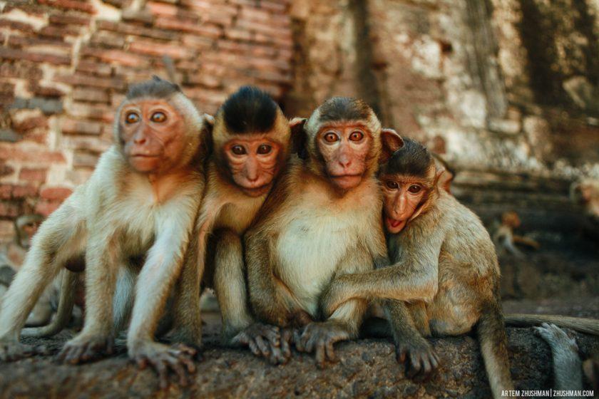 Храм обезьян в Лопбури, Тайланд (19)