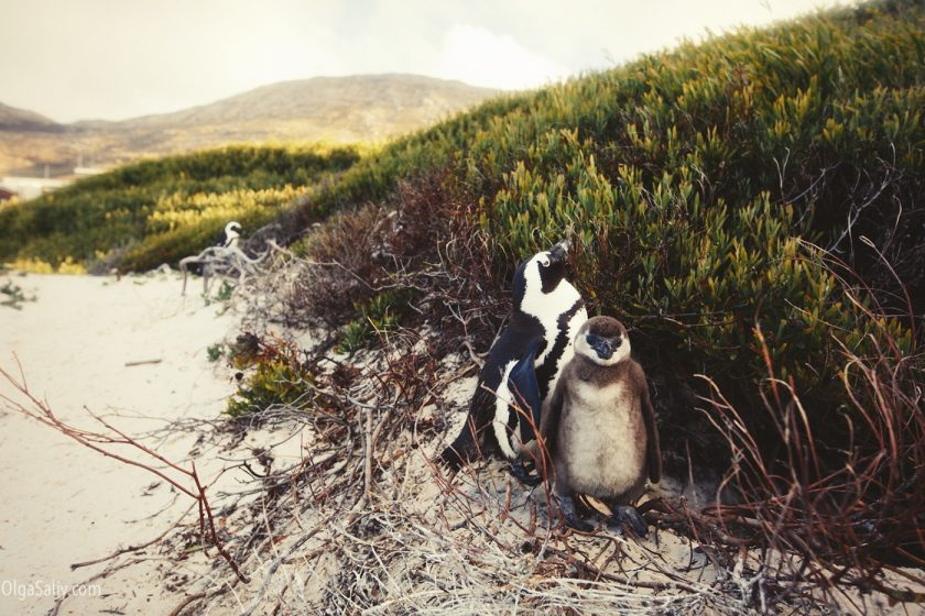 Пингвиний пляж в Кейптауне Boulders beach