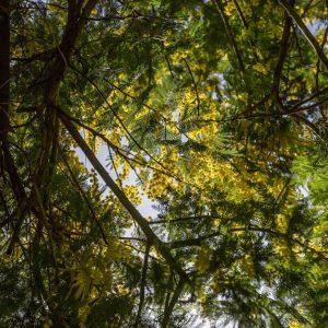 Мимоза-акация в Ботаническом саду Батуми