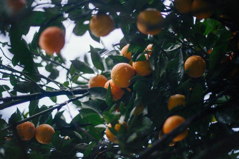 Апельсины в ботсаду Батуми не очень вкусные) мандарины лучше