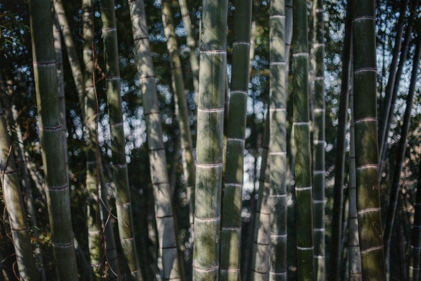Бамбуковые заросли в Ботаническом саду Батуми