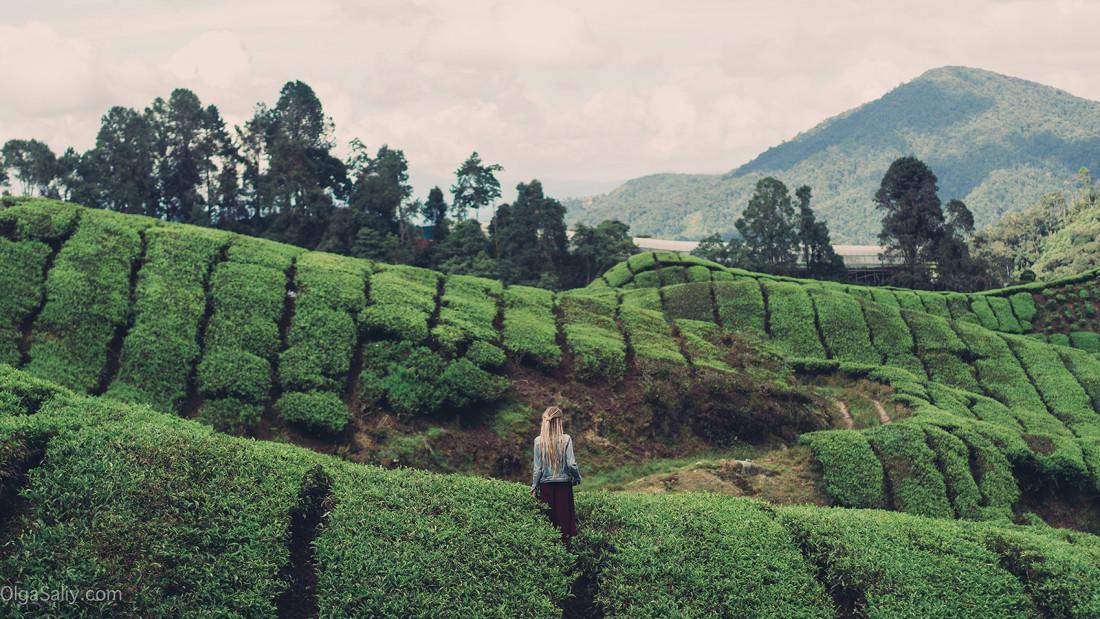 Чайные плантации Кэмерон